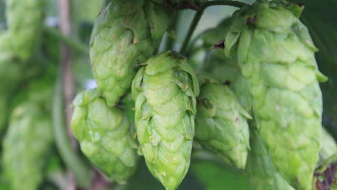 Lookout Brewing in  Black Mountain has a wet hopped pale ale on tap.