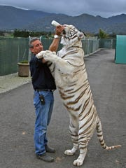 Fully extended, Moksha, a Royal White Bengal tiger stands over six feet in length