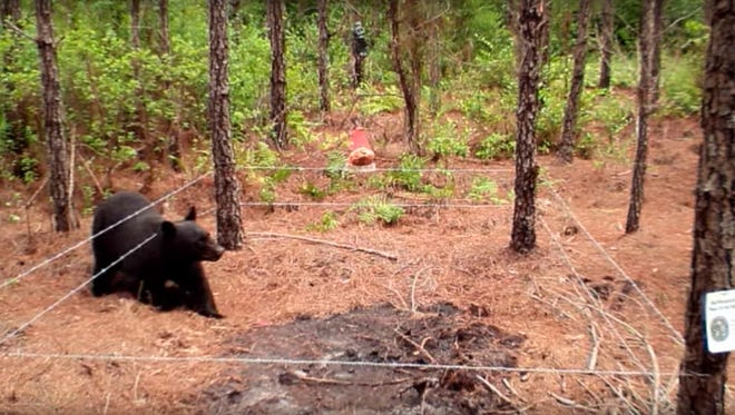 A still from a Florida Fish and Wildlife Conservation Commission video on YouTube (https://youtu.be/pf0cL6gUuXI) about how the agency counts bears. The FWC used the spatially explicit capture recapture method in summers 2014 and 2015.