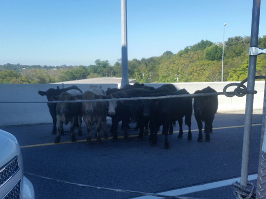 Cows that survived a crash on Briley Parkway after