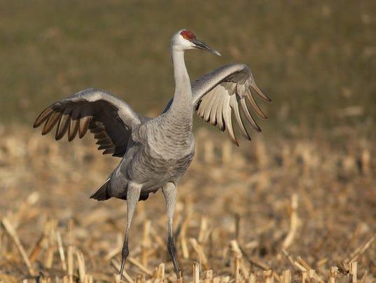 dcn 0405 ridges crane in field ICF
