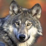 Investigators seek tips after wolf poaching discovered in U.P.