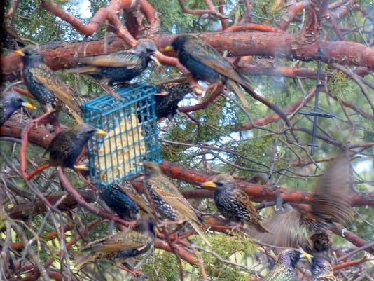 starlings battle