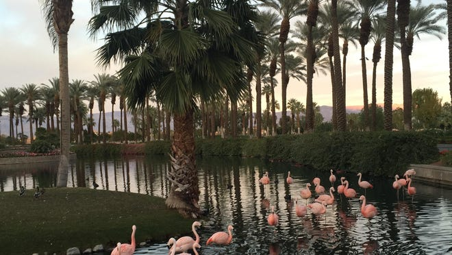 Flamingos are permanent residents of the Desert Springs property.