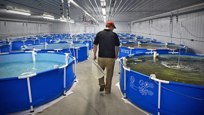 Kevin Smude checks on tanks of growing shrimp Nov. 17 at Four Seasons Shrimp in Pierz.