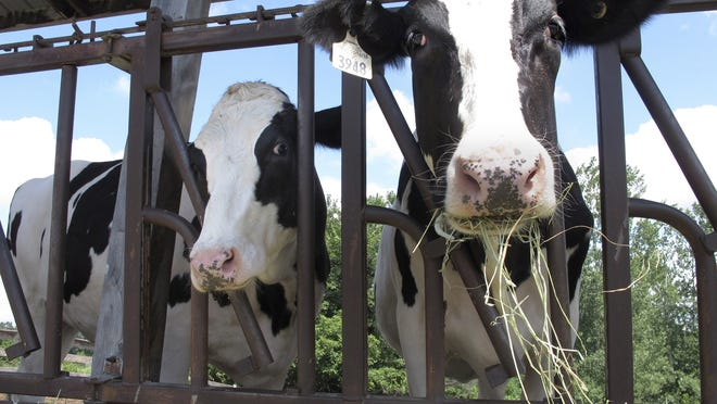 Cows on pasture at the University of Vermont dairy farm eat hay Thursday in Burlington, Vt.