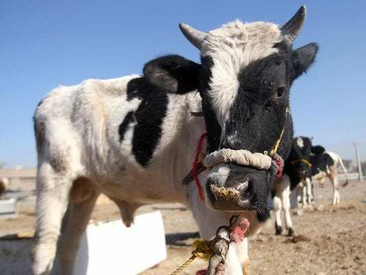 A calf is tethered at a livestock market