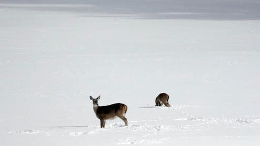Deer look for food in a snow-covered field on Monday, Nov. 21, 2016, in Stephentown, N.Y.  A deer found in Harlem died Friday, Dec. 16, 2016, after an attempt by the state Department of Environmental Conservation to save it.