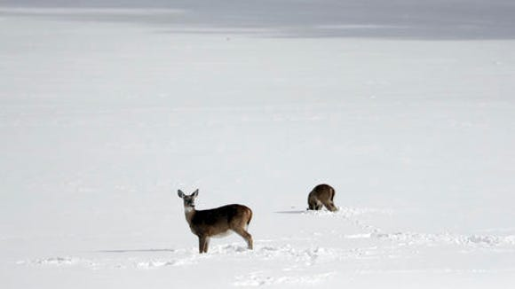 Deer look for food in a snow-covered field on Monday,