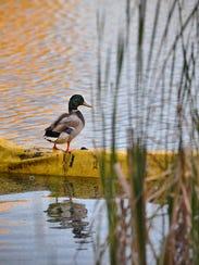 A mallard duck surveys the scene from atop a barrier