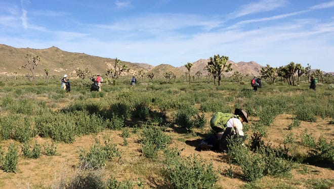 About 30 volunteers spent Earth Day clearing tumble mustard from an area of Keys View in Joshua Tree National Park. Over about four hours, the volunteers pulled approximately 27,500 plants – weighing nearly 2,000 pounds, officials said.