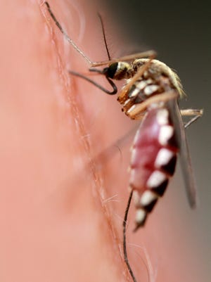 A mosquito gorges itself.