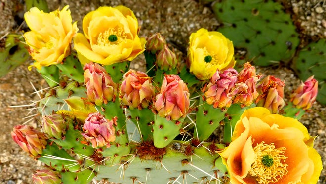 Cactus blooms are abundant in Sabino Canyon in the spring.