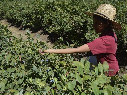 Adela Romero, 17, picks blueberries at a Harvesting Hope event at a farm east of Visalia on Saturday.