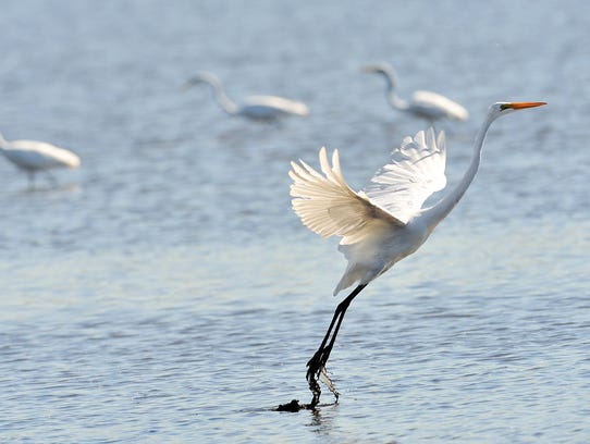 An egret takes flight in the estuary at Richard W.