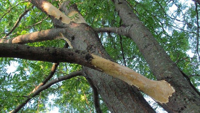 This honeylocust tree in Burlington shows squirrel damage.