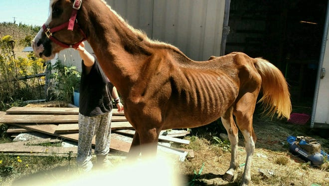This horse was seized by Marion County deputies Aug. 13 and his owner, Randi Solorzano, was charged with animal neglect.