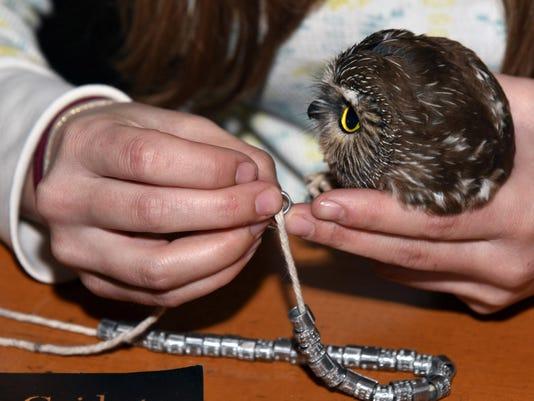 owl banding raptor watch