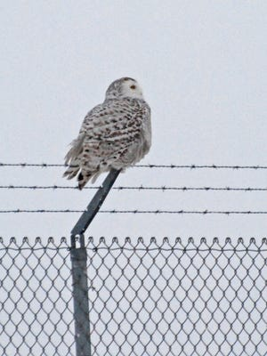 This snowy owl has been hanging out near the Outagamie County Regional Airport.