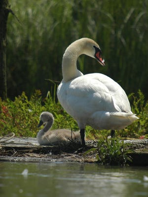 Mute swans were brought to the U.S. in the 19th century as an ornamental bird but escaped into the wild and became invasive.