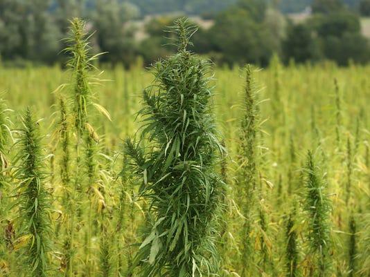 Cannabis Cultivated For Hemp