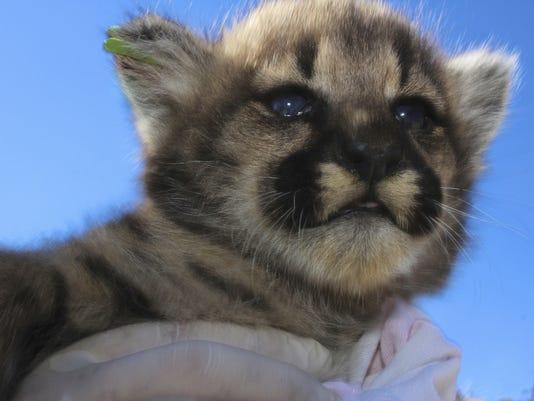 Mountain-Lion-Kittens2.jpg