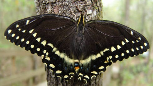 Swallowtails like this one are attracted to bee baum, along with hummingbirds and hummingbird moths.