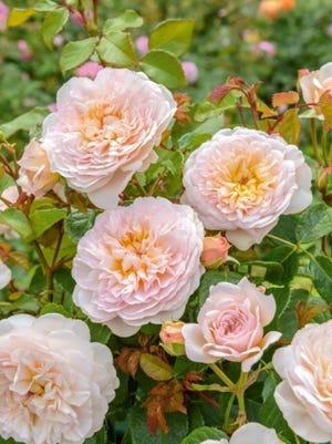"""David Austin English Rose """"Emily Bronte"""""""