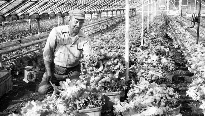 Herman Hohlt cuts leaf lettuce for market in his greenhouse on Bluff Road, south of Hanna Avenue, in this 1960 photo.