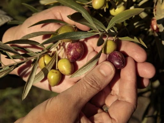 Los Angeles Times/MCT; Theo Stephen inspects olives in 2011 to decide which trees are ready for harvesting at her organic olive groves on Rancho La Cuna in Los Alamos.