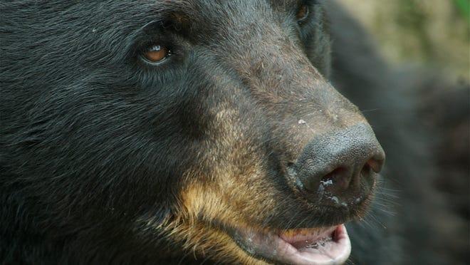 Ursus americanus (Black Bear)