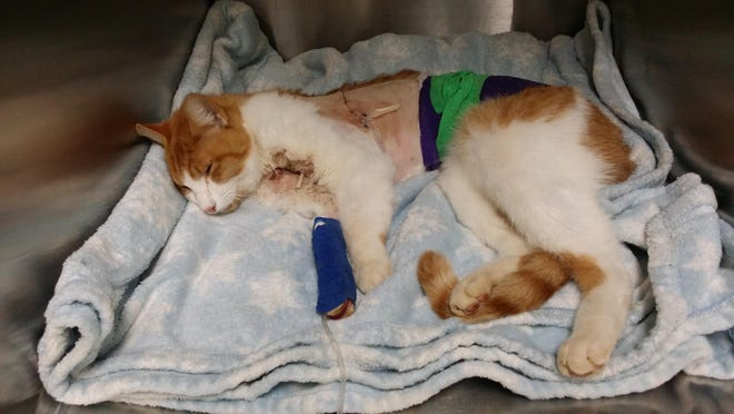 Kitty the cat post-surgery.
