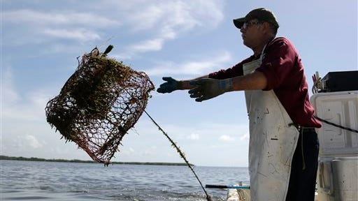 In this Monday, July 14, 2014 photo, blue crab fisherman Jeffrey Mullins, 54, of Palmetto Bay, Fla., throws a crab trap into the water  while working in Biscayne National Park, Fla. Mullins has been fishing for decades and hopes to pass the business on to his children. Federal officials are seeking to ban commercial fishing in the park which is offshore from suburban Miami. Officials say cutting off commercial fishing will help improve the numbers and size of fish swimming through the park. (AP Photo/Lynne Sladky)