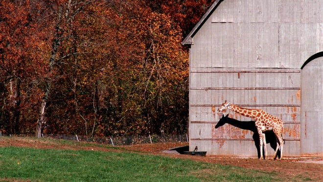 This photo from 1996 shows one of the four reticulated giraffes at the Nashville Zoo near Joelton. .