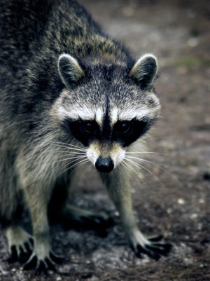 Camden County authorities say a raccoon that bit a dog in Stratford has tested positive for rabies.