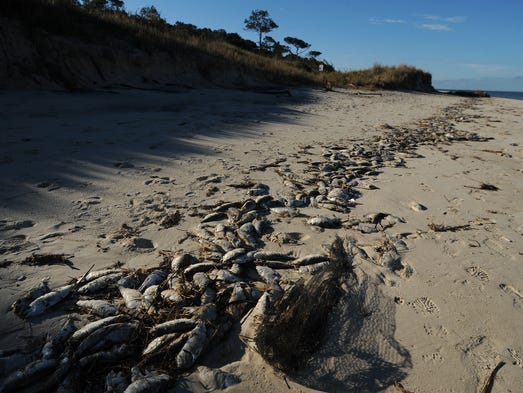 Menhaden carcasses line the beach at the Savage Neck