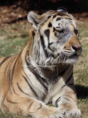 Former Alexandria resident, Nikki Reeves shared these photos taken on Mike the Tiger's last day outside Saturday, Oct. 8. Mike VI, LSU's live mascot, was humanely euthanized Tuesday.