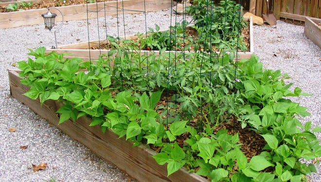 Snap beans and tomatoes can be successful fall vegetables.