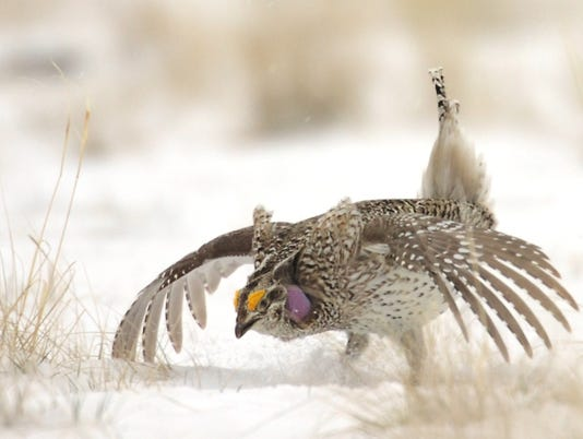 sharp-tailed-grouse