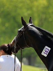 A patient bay hunter nuzzles his groom at HITS.