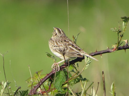 A grasshopper sparrow sings  in the Willamette Valley.