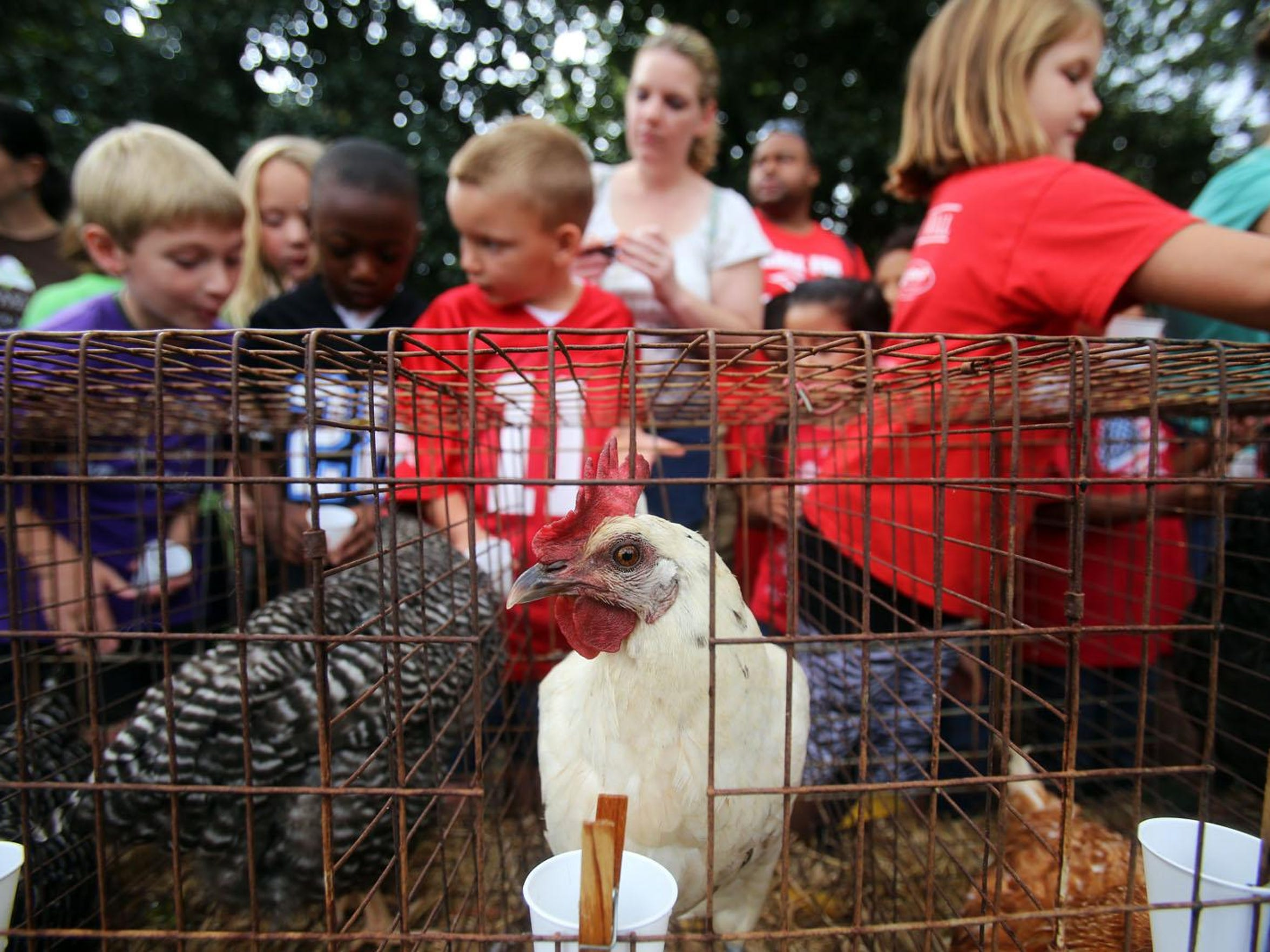 Childen pet and feed chickens belonging to Cherie and Karl Hammers of Rockvale during Heritage Days at the Sam Davis Home Thursday. John A. Gillis/DNJ Kids pet and feed chickens belonging Cherie and Karl Hammers of Rockvale during Heritage Days at the Sam Davis Home Thursday, Sept. 26, 2013.