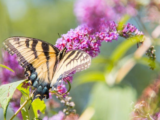 Stony Kill Farm will have its annual butterfly festival Aug. 6 at the facility in Wappingers Falls.