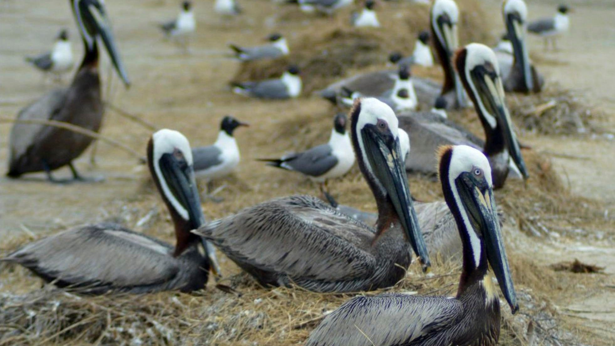 Brown pelicans nest among laughing gulls on Louisiana's Rabbit Island.