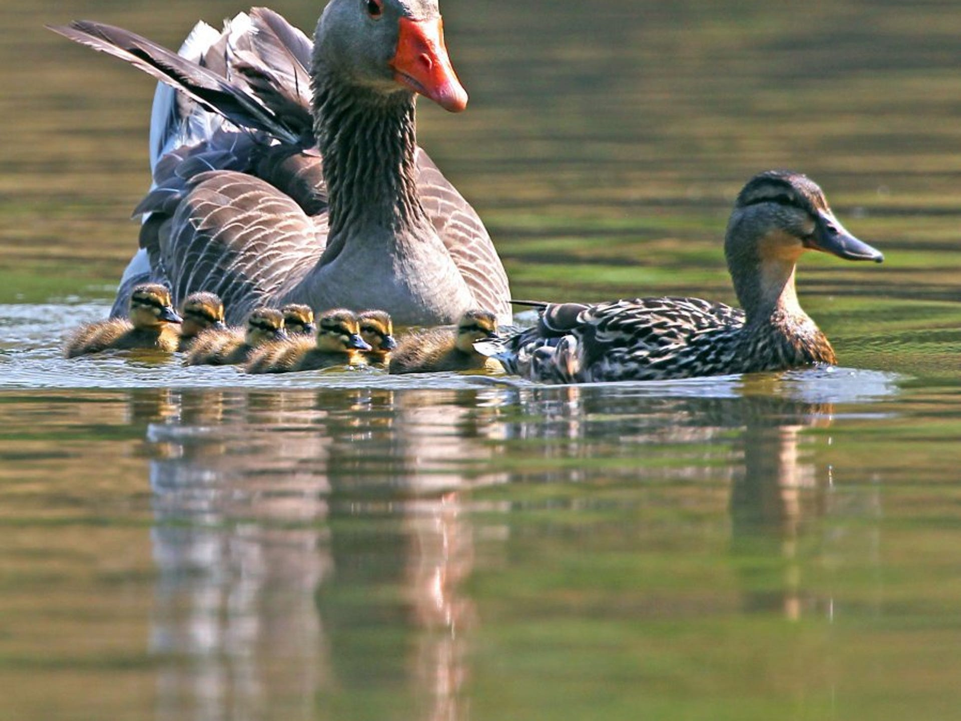 buy online caa5f 408fe Sunny day at the duck pond