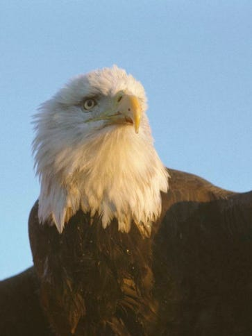 Did you know? Most bald eagles seen in the movies are