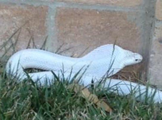 albino cobra