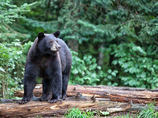 A stock photo of a black bear. This is not the photo of the bear that attacked the man near Creswell.