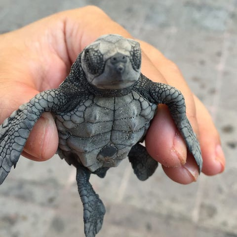 Celebrate the baby tortugas at Marriott Puerto...