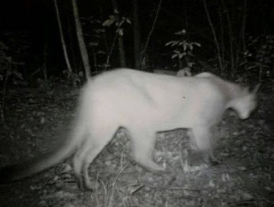 This image believed to be a cougar was captured on